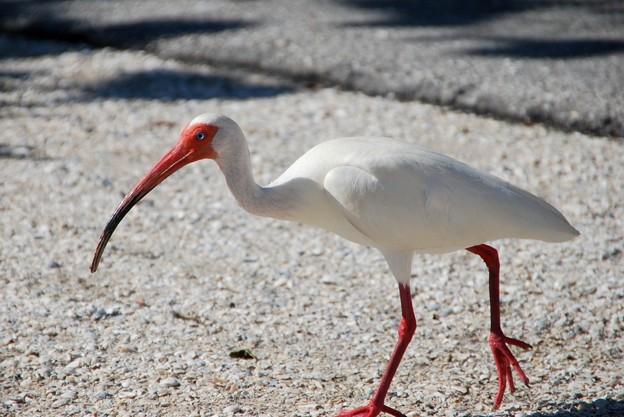White Ibis 6-4-16