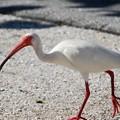 Photos: White Ibis 6-4-16