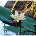 写真: American Lotus I 7-7-16