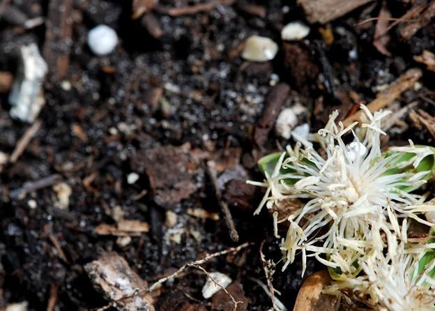 Fallen Lychee Flowers 5-23-16