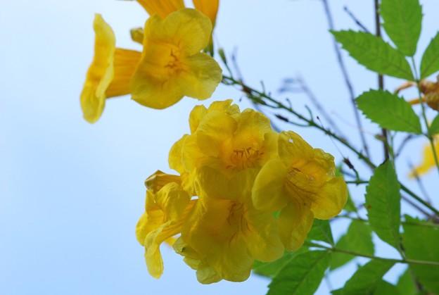 Yellow Elder 6-12-16