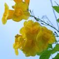 写真: Yellow Elder 6-12-16