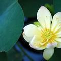 Lotus hybrid I 7-20-16
