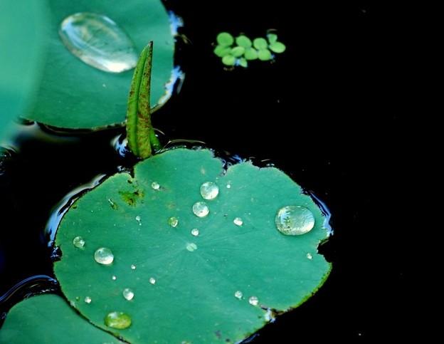 写真: Lotus Leaves 7-20-16