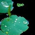 Lotus Leaves 7-20-16