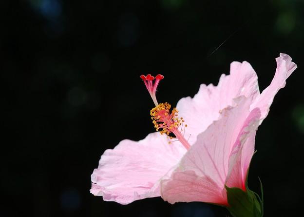 Hibiscus 6-12-16