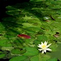 White Water Lily II 5-23-16