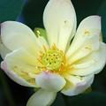 写真: Lotus hybrid III 7-20-16