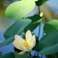 写真: Lotus hybrid IV 7-20-16