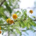 Sweet Acacia 5-23-16