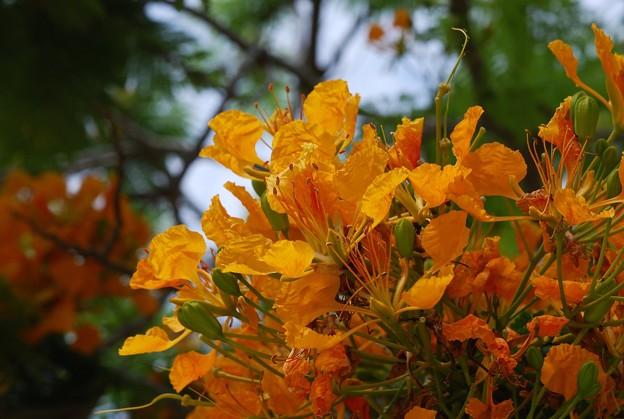 Yellow Royal Poinciana I 5-23-16