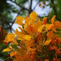 Photos: Yellow Royal Poinciana I 5-23-16
