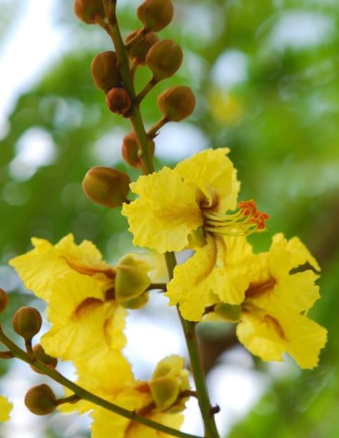 Yellow Poinciana Tree 5-23-16