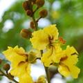 写真: Yellow Poinciana Tree 5-23-16