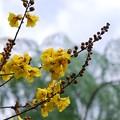 写真: Yellow Poinciana 6-12-16