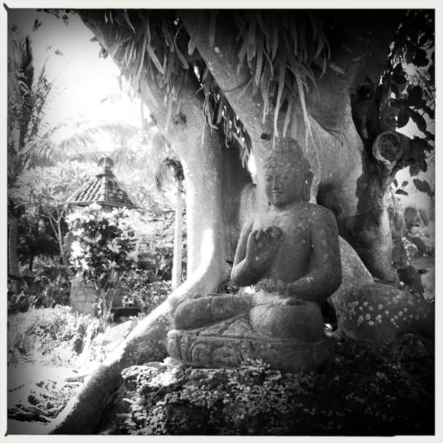 Under the Sacred Fig 6-12-16