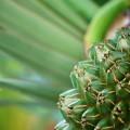 Screw Pine 6-12-16