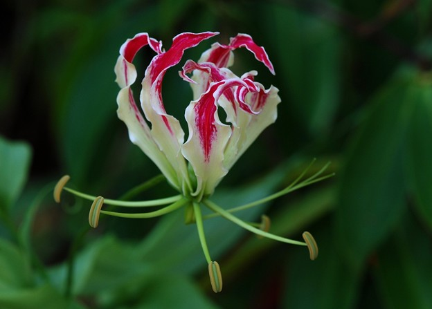 Flame Lily I 6-12-16