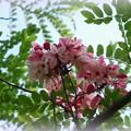 Apple Blossom Tree II 6-12-16