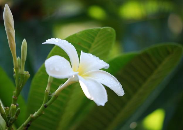 Plumeria 7-5-16