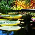 写真: The Pond with Brazilian Waterlily Pads 7-20-16