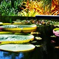 The Pond with Brazilian Waterlily Pads 7-20-16