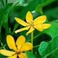 写真: Golden Gardenia 7-5-16