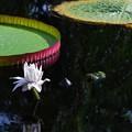 写真: Giant Water Lily 8-4-16
