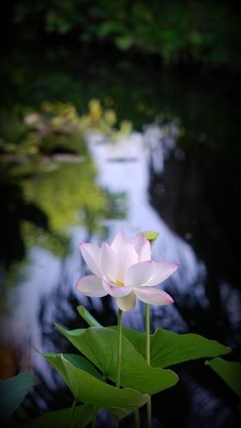写真: Sacred Lotus IV 8-4-16