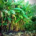 写真: Pineapple Banana 7-7-16