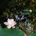 写真: Sacred Lotus VI 8-4-16