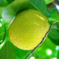 Jackfruit 7-20-16