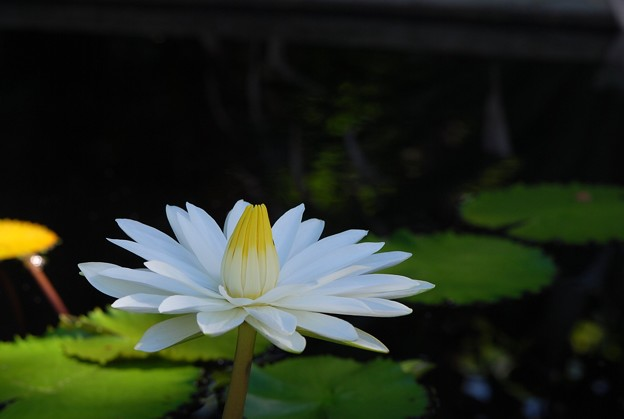 写真: White Egyptian Lotus 7-20-16