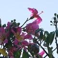 Photos: Silk Floss Tree Flowers 8-4-16
