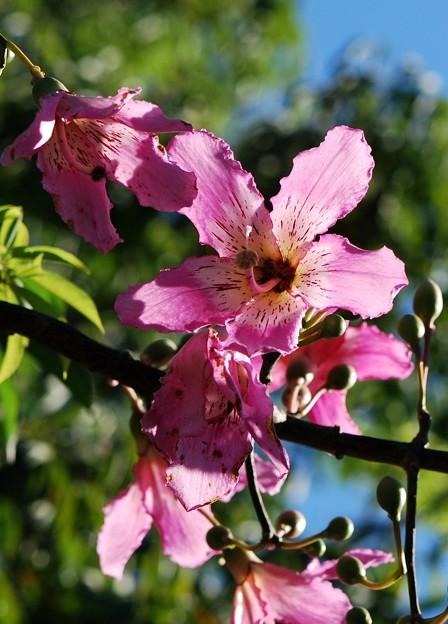 Silk Floss Tree 8-21-16