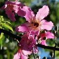Photos: Silk Floss Tree 8-21-16