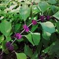 Beautyberry II 8-4-16