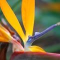 写真: Bird of Paradise IV 8-4-16