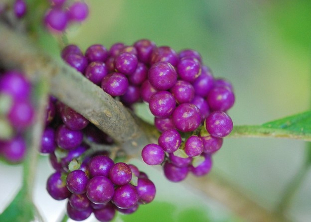American Beautyberry Fruits 8-21-16