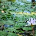 写真: Star Lotus 8-21-16