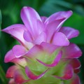 Siam Tulip 8-21-16