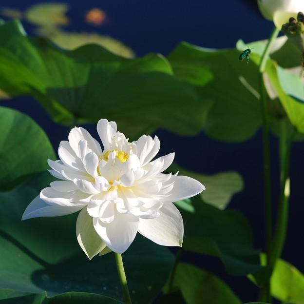写真: Cuckoo Wasp and the Lotus 8-29-16