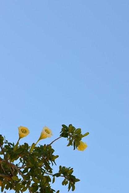 Photos: Golden Chalice Vine 9-16-16