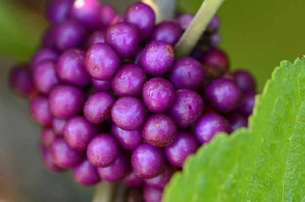 Beautyberry 9-16-16