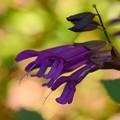 Photos: Salvia guaranitica 10-14-16