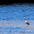 写真: Reddish Egret 10-18-16