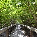 Mangrove Tunnel 10-18-16