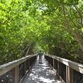写真: Mangrove Tunnel 10-18-16