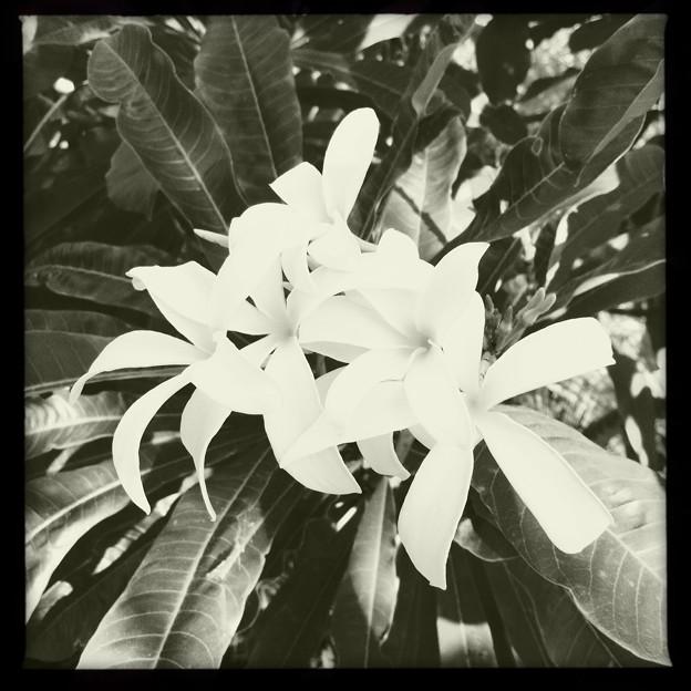 White Plumeria Flowers I  10-25-16