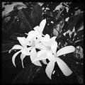 White Plumeria Flowers III  10-25-16